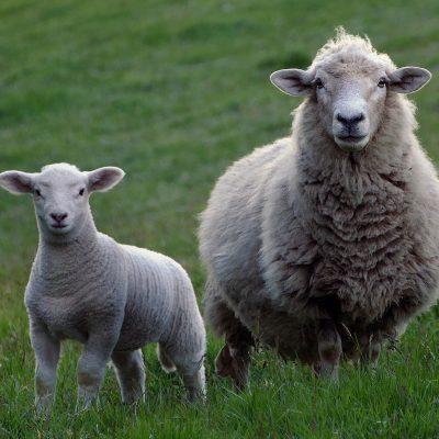 Alimentation pour Moutons/Chèvres